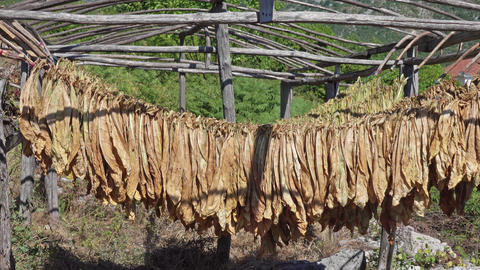 Tobacco leaves hang and dry in a wooden shed Live Action