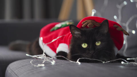 Close up portrait of a black fluffy cat dressed as Santa Claus lies on a Live Action