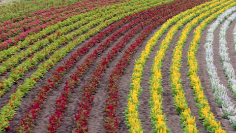 Landscape With Flowers In Fields In Nakafurano Hokkaido Japan Asia Live Action
