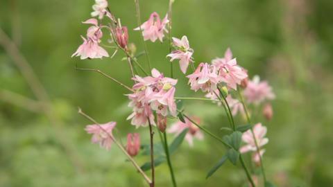 pink flowers Aquilegia vulgaris Live Action