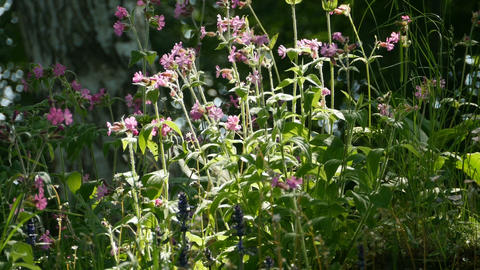 Wild flowers Silene dioica Live Action