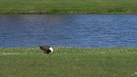 Bald eagle on the ground eating fresh fish gets atacked by black bird Footage