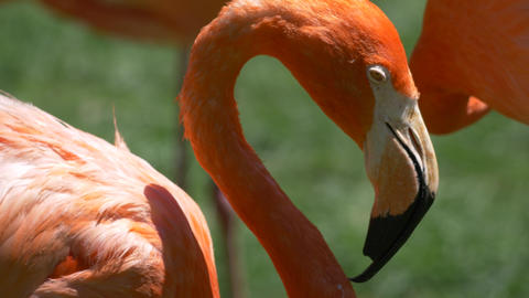 Sleepy flamingos cleaning themselves and taking a nap Footage
