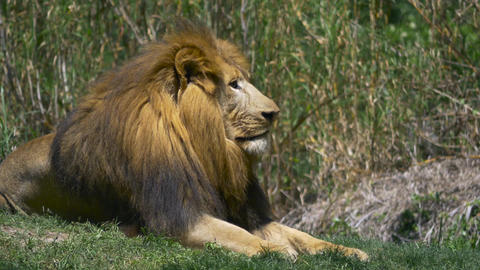 Lion relaxing in green grass next to lioness Footage