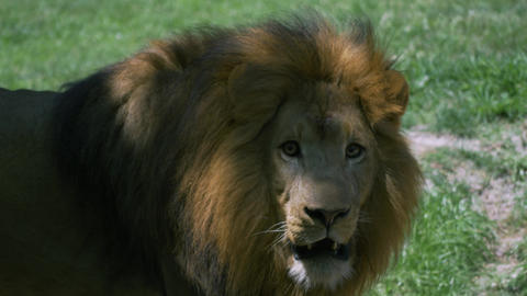 Adult male lion with large mane pacing back and forth Footage