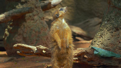 Meerkat from head to toe before he sits into frame Footage