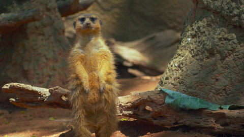 Meerkat looking around before whipping head to look behind Live Action