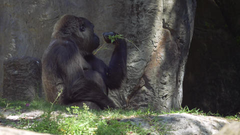Gorilla picks up stick and starts munching on leaves Footage