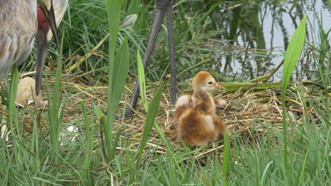 Two Sand HIll Crane Babies Stumbling in Nest While Parents Supervise, 4K Footage