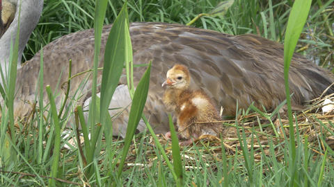 Sandhill Crane Newborn Chick Standing Next to Mom, 4K Footage