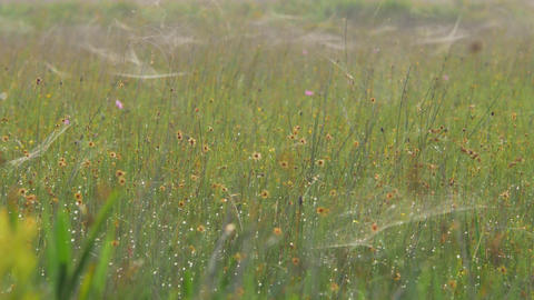 Flower Field Covered in Spiderwebs, 4K Footage