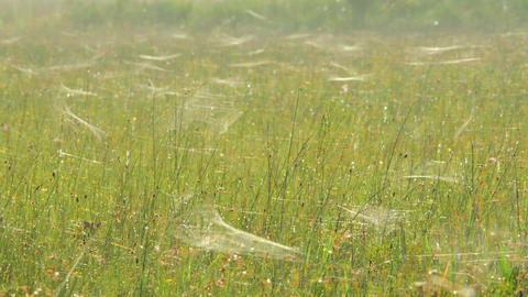 Morning Field Covered in Spiderwebs, 4K Footage