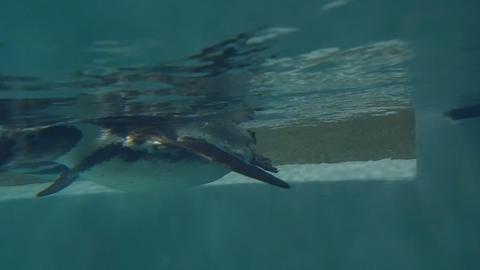 Humboldt penguin underwater Live Action