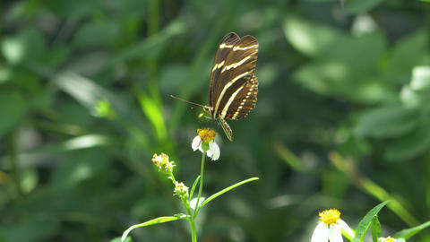 Zebra Longwing Butterfly Lands on White Flower, 4K Footage