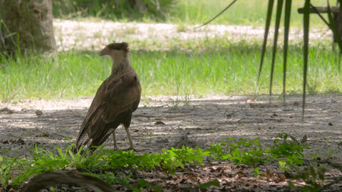 Female Crested Caracara on the Ground Looking Around, 4K Footage