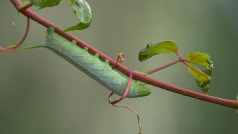 Green Hornworm Caterpillar Hanging from Vine Blowing in the Breeze, 4K Footage
