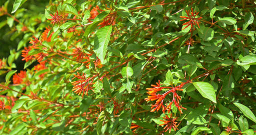 Firebush Or Hummingbird Bush (Hamelia Patens) Flowers Footage