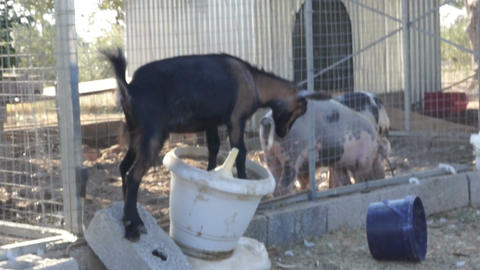 Playful Goat 2 Stock Video Footage