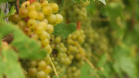 White grapes bunch Footage