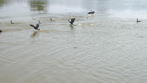 wonderful black birds fly away from calm blue lake Live Action
