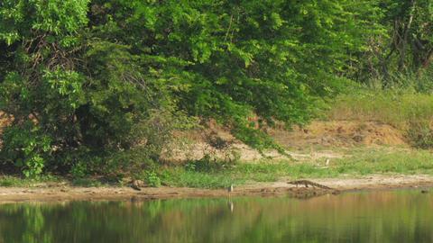 long crocodile walks along lake beach hunting for bird Live Action