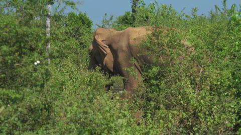 huge elephant walks along high green grass slow motion Live Action