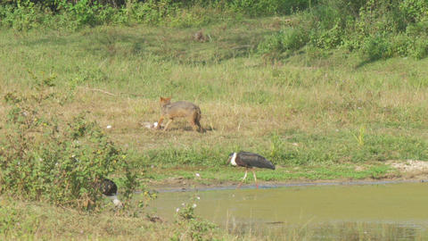 hyena eats victim on green and brown meadow at bird Live Action