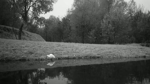 Single White Bird Alone in a Lake with Water Relfections in Black an White Video Live Action