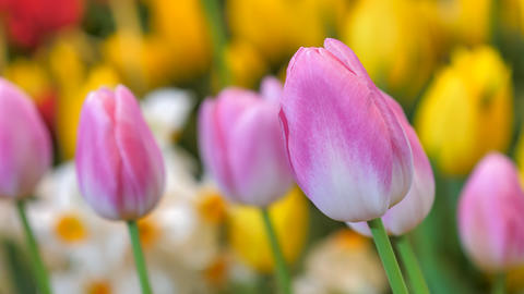 Close up a group of colorful tulip a beautiful and fresh flower selective focus shallow depth of Live Action