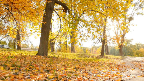 Beautiful autumn park with yellow leaves. The bright rays of the sun. Slow Live Action