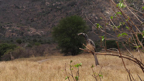 African Grey Hornbill, tockus nasutus, Male with a Grasshopper in its Beak, taking off, Tsavo park Live Action