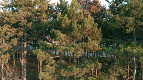 Pine treees in warm light of sunset Live Action