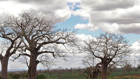 Baobab, landscape on the road to go to Tsavo Park, field of Agave, Kenya, slow motion Live Action