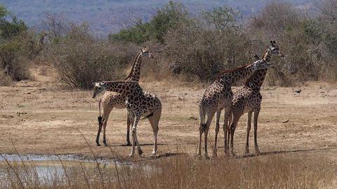 Masai Giraffe, giraffa camelopardalis tippelskirchi, Group at Water Hole, Tsavo Park in Kenya, slow Live Action