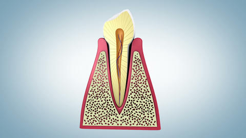Cross-section of a healthy human tooth Animation