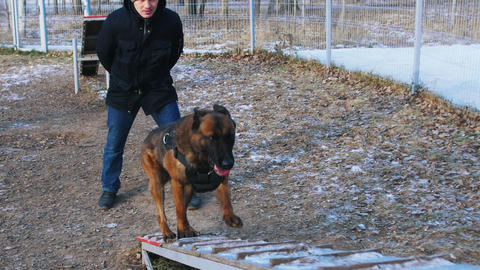 A german shepherd dog running up on the stand by the trainers command - outdoors Live Action