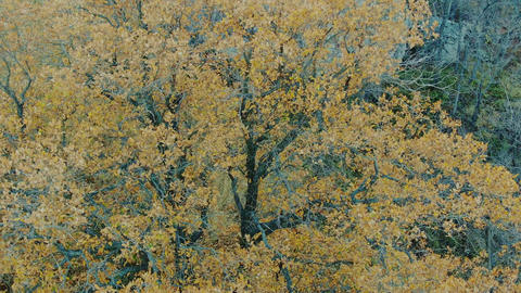flying around an oak tree with yellow leaves in the autumn Live Action