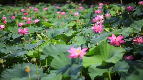 운천지 연꽃 lotus flower Footage