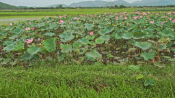 View of Large Lake Field of Pink Lotuses in Vietnam Footage