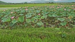 View of Large Lake Field of Pink Lotuses in Vietnam Footage