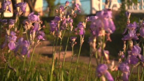 Purple irises in the sunset sun. Purple irises in a flower bed, the camera moves Live Action
