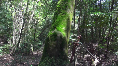 A tree covered in beautiful green moss in the forest Footage