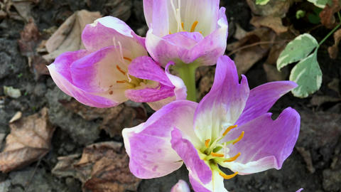 Lilac crocus in the garden among the fallen leaves Footage