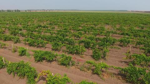 Aerial view on extensive vineyards, 4k Footage