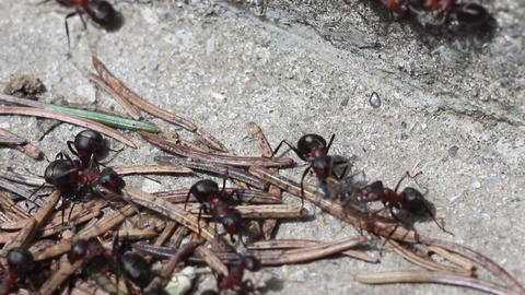 red ants Footage