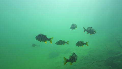 Group of big perch swimming slowly near lake bottom Stock Video Footage