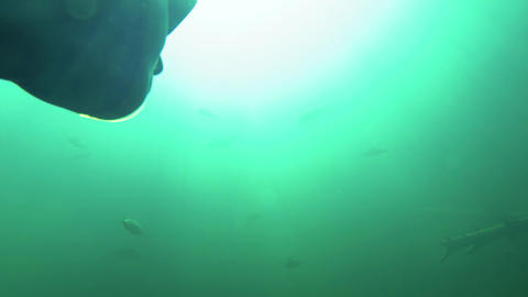 Freediver diving towards a school of big perch Live Action