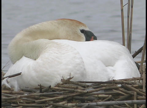 A white swan sleeps in its nest Stock Video Footage