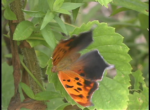 An orange and black butterfly perches on a leaf Footage
