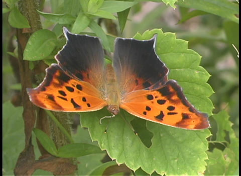 An orange and black butterfly perches on a leaf Stock Video Footage